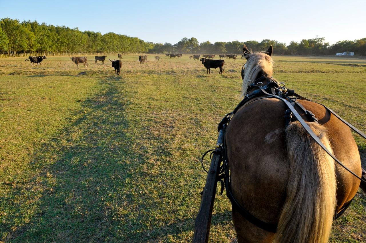 Cheval dans un champ avec des  taureaux